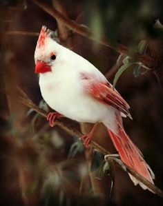 White cardinal (or Desert Cardinal), found in the American southwest and northern Mexico.  - Wikipedia.