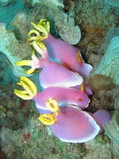 natureblogger.com    Sea Slugs   aka Nudibranch
