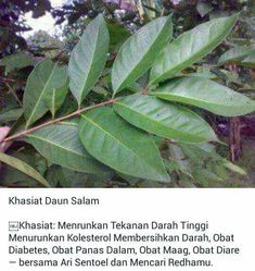 Khasiat Daun Salam Herbal Remedies, Home Remedies, Natural Remedies, Back To Nature, Homemade Spices, Fruit Plants, Medicinal Plants, For Your Health, Herbal Medicine