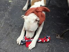 SAFE --- Manhattan Center  DREW - A1019801  MALE, WHITE / BROWN, PIT BULL MIX, 1 yr STRAY - STRAY WAIT, NO HOLD Reason STRAY  Intake condition ILLNESS Intake Date 11/05/2014, From NY 11418, DueOut Date ,  https://www.facebook.com/photo.php?fbid=901880713158142