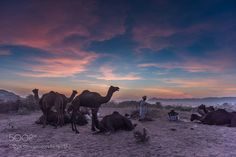 http://500px.com/photo/192753147 That Winter Evening_DSC3151.jpg by withManish -Sunset in Pushkar Rajasthan.  The Pushkar Fair (Pushkar Camel Fair) or locally called Pushkar ka Mela is an annual camel and livestock fair held in the town of religious of Pushkar in Rajasthan India. It is one of the world's largest camel fairs.  Thousands of people go to the banks of the Pushkar Lake where the fair takes place. Men buy and sell their livestock which includes camels cows sheep and goats and…