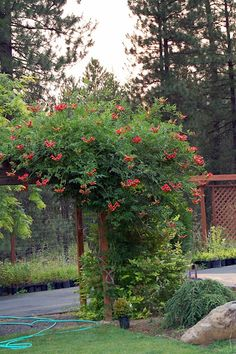 Trumpet vine....love it. Do not plant against the house...ants love it.  Beautiful on a trellis...high desert resilient... dormant in winter...can be invasive..flower drop messy...still love it