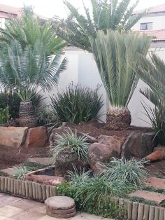 E.duirianuis June 2014 Landscaping With Rocks, Front Yard Landscaping, Tropical Garden, Tropical Plants, Cacti And Succulents, Planting Succulents, Home Garden Design, Home And Garden, Sago Palm