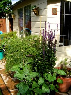 Acer Palmatum, Salvia and the Physalis grown on from seed