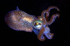 Plastic is polluting oceans worldwide by harming marine life and underwater habitats, but scientists are proposing another sustainable solution to the issue: squid protein. Penn State University scientists say the proteins used to … Fauna Marina, Octopus Art, Cuttlefish, Sea Slug, Ocean Creatures, Underwater World, Ocean Life, Marine Life, Under The Sea