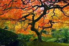 images of japanese gardens | Autumn Maple, Japanese Garden, Portland, OR