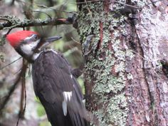 Pileated Woodpecker / Grand Pic -  René Brunelle Provincial Park - July 2013 Chickadees, Bird Pictures, Squirrels, Ontario, Birds, Park, Friends, Winter, Nature