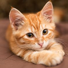 TO watch cat video stories , cat rescue ideas , rescue pets , funny cats and kittens videos stories Orange Tabby Cats, Red Cat, Pretty Cats, Beautiful Cats, Cute Kittens, Cats And Kittens, Ragdoll Kittens, Kitten Meowing, Bengal Cats
