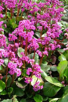 Bergenia Eric Smith. Ah ha, this is the plant I saw in front of the Great North museum that I liked so much!