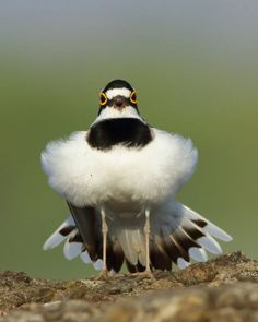 Little ringed Plover, Solapur, Maharashtra, November Funny Birds, Cute Birds, Pretty Birds, Beautiful Birds, Animals Beautiful, Cute Animals, Birds And The Bees, Kinds Of Birds, All Birds