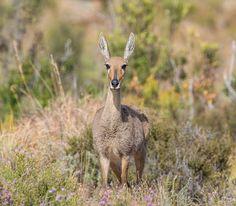 Female Grey Rhebok