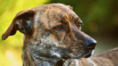 Treeing Tennessee Brindle - Alles over hondenrassen ✓ Tennessee, Dog Breeds, Om, Foundation, Animals, Animais, Animales, Animaux, Animal