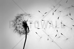 Dandelion - Black White - Wall Mural & Photo Wallpaper - Photowall