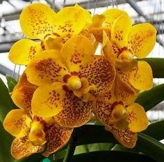 1000 images about orchidees vanda on pinterest orchids. Black Bedroom Furniture Sets. Home Design Ideas