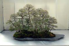Caitlin, Ulmus Parvifolia Forest