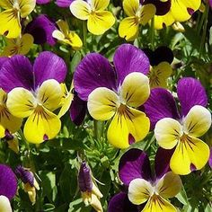 Johnny Jump-up (Viola Tricolor) - These are such delightful little flowers that bring charm and grace to any summer landscape. They grow very easily from Viola seeds, and once established will even se Little Flowers, Small Flowers, Fresh Flowers, Wild Flowers, Beautiful Flowers, Johnny Jump Up Flowers, Wildflower Seeds, Summer Landscape, Flowers Perennials