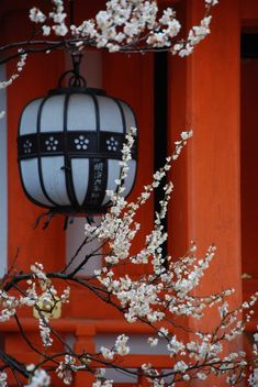 Cherry tree blossoms and Lantern, Kyoto, Japan