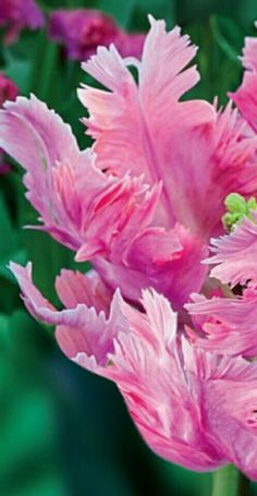 Pink Parrot. One Million Tulips