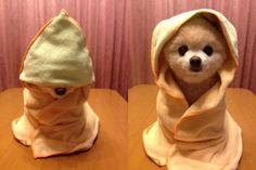 Pomeranian in bath blankey?