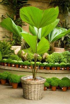 loyak, licuala grandis palm tree