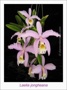 Orchid: Laelia jongheana