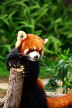 Red Panda, can't wait to see my favorite animal at the zoo today! :)