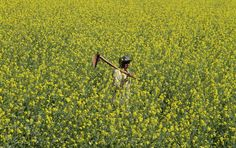An Indian man carries a spade and walks in a mustard field on the outskirts of Ahmadabad, India, on Dec 27, 2014. Earlier this year, the Indian government allowed field trial of a variety of genetically modified (GM) mustard, almost 18 months after the previous government ordered a freeze on such tests, according to news reports. (Ajit Solanki/Associated Press)