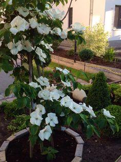 Cornus venus. Mein Garten