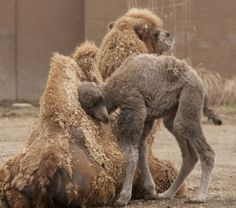 Have You Ever Seen a Newborn Camel? It's the Smallest, Cutest Little Fuzz Ball Ever! Funny Animal Photos, Baby Animals Pictures, Cute Animal Pictures, Cute Baby Animals, Funny Animals, Wild Animals, Zoo Animals, Adorable Pictures, Happiness