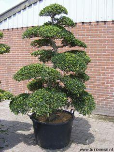 Ilex crenata Kinme Bonsai Mooie vormbomen voor in de tuin. Meer foto's op www.tuinbonsai.nl