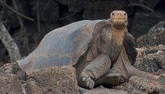 He was the last of his kind and now he is gone. Lonesome George, the world-famous Pinta Island tortoise (Chelonoidis nigra abingdoni) has died in the Galápagos Islands off the coast of Ecuador. George, estimated to be at least 100 years old, was the last known member of his subspecies, and his solitary existence for the past 40 years has made him a poster boy for conservation and endangered species.