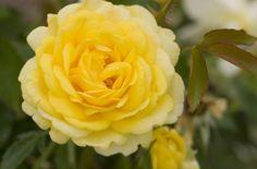 Easy Elegance 'High Voltage' Shrub  Rose