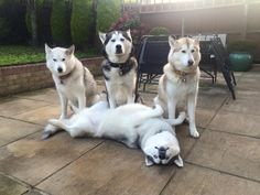 Trying to get 4 huskies to pose together.... takes true talent!