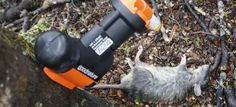 Inside the Conservation Department's battle against record numbers of rodents Rodents, Predator, Rats, Conservation, Ranger, Battle, Number, Big, Free