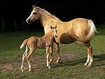 The adult horse is palomino, a golden color.  The baby horse is chestnut, a light red-brown color.