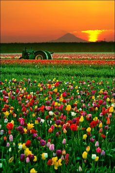 Lone tractor in a tulip field, Holland