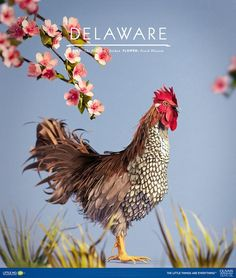 Superior Delaware, Blue Hen Chicken,     Diana Beltran Herrera Is An Artist Who  Makes Beautiful, Intricate Paper Sculptures. We Asked Her To Make A Series  Of Birds, ...