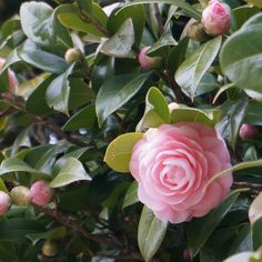 soft pink on my daily life and tagged camelia, flower, matchaatnoon, nature, on my daily life, pink, sunlight, tree