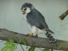 African Pygmy Falcon at the Cotswold Falconry Centre
