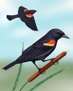 Red-winged Blackbird - Whatbird.com