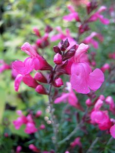 Salvia Flamenco Rose