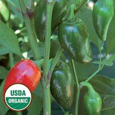 Jalapeno Traveler Strain Organic Pepper - Seed Savers Exchange