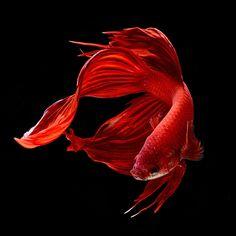 Red Siamese Fighting Fish, Betta Splendens by bluehand                                                                                                                                                                                 Mais