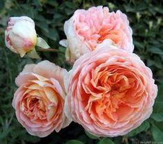 Rosa (Englische Rose) 'Abraham Darby'®