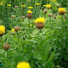 Risultati immagini per centaurea macrocephala Thistle Seed, Seed Packaging, Flower Farmer, Beneficial Insects, Golden Star, Dark Places, Shaggy, Love Is All, Dried Flowers