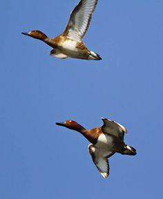 Specii - pasari - 1 - REZERVATIA BIOSFEREI DELTA DUNARII Bird, Animals, Animales, Animaux, Birds, Animal, Animais, Dieren