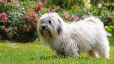 Coton de Tulear Dog Breed Information, Pictures, Characteristics & Facts Dog Breeds List, Best Dog Breeds, Best Dogs, Most Cutest Dog, Coton De Tulear Dogs, Non Shedding Dogs, Hypoallergenic Dog Breed, Dog Breeds Pictures, Scary Dogs