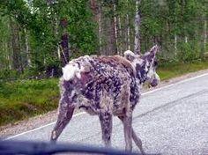 Image result for jemina staalo kissa kissoja Goats, Image, Goat