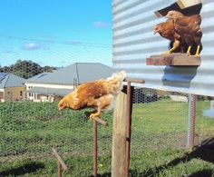 How to make a fox-proof chook shed | GardenDrum