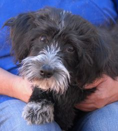 Marcus is a baby boy pleading for kindness and stability.  He is a Shih-Tzu & Tibetan Terrier mix puppy, 4 months of age, now neutered and debuting for adoption at Nevada SPCA (www.nevadaspca.org).  Marcus was surrendered to us because a member of his previous family was reportedly neglecting him.  Marcus enjoys other dogs and needs regular grooming and basic training.